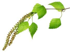The leaves and buds of birch